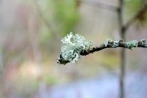 Flechte am Baum - Fotografie