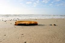 Schwertförmige Scheidenmuschel - Naturfoto